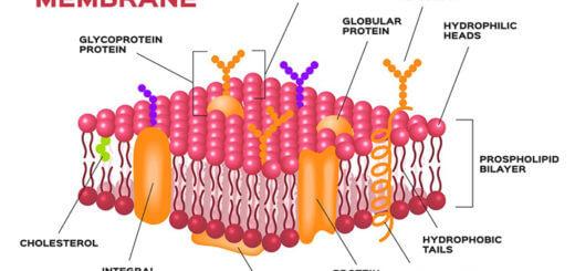 entzündung herzmuskel